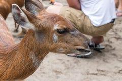 Ελάφια μωρών στο πάρκο ζωολογικών κήπων του Μπαλί, Ινδονησία κλείστε επάνω Στοκ φωτογραφία με δικαίωμα ελεύθερης χρήσης
