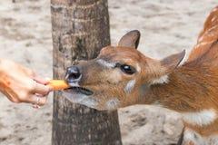 Ελάφια μωρών στο πάρκο ζωολογικών κήπων του Μπαλί, Ινδονησία κλείστε επάνω Στοκ φωτογραφίες με δικαίωμα ελεύθερης χρήσης