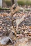 Ελάφια που γρατσουνίζουν την πλάτη του στο πάρκο σαφάρι Στοκ εικόνες με δικαίωμα ελεύθερης χρήσης