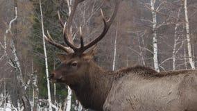 Ελάφια που προσέχουν στο χειμερινό δάσος απόθεμα βίντεο