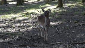 Ελάφια σε ένα σκιερό δάσος φιλμ μικρού μήκους