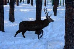 Ελάφια στην αιχμαλωσία Στοκ Φωτογραφία