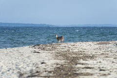 Ελάφια στην παραλία στοκ εικόνα με δικαίωμα ελεύθερης χρήσης
