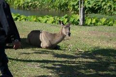 Ελάφια στο εθνικό πάρκο Khao Yai, Ταϊλάνδη στοκ φωτογραφία με δικαίωμα ελεύθερης χρήσης