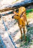 Ελάφια στο ζωολογικό κήπο, Ταϊλάνδη Στοκ εικόνα με δικαίωμα ελεύθερης χρήσης