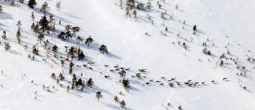 Ελάφια στο χειμερινό δασικός-tundra, τοπ άποψη στοκ εικόνες