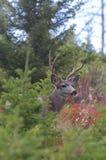 Ελάφια Buck μουλαριών Στοκ φωτογραφίες με δικαίωμα ελεύθερης χρήσης