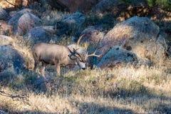 Ελάφια Buck μουλαριών Στοκ εικόνες με δικαίωμα ελεύθερης χρήσης