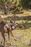 Ελάφια Buck μουλαριών Στοκ Φωτογραφίες