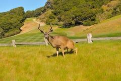 Ελάφια buck σε ένα γήπεδο του γκολφ από έναν φράκτη στοκ φωτογραφία