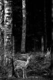 Ελάφια Buck Whitetail που στέκονται τα δάση Στοκ Εικόνα