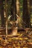 Ελάφια Buck Whitetail στοκ εικόνες με δικαίωμα ελεύθερης χρήσης
