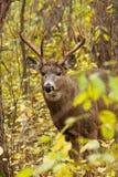 Ελάφια Buck Whitetail Στοκ Φωτογραφίες