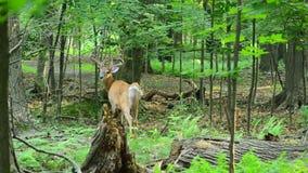 Ελάφια Bucks Whitetail απόθεμα βίντεο