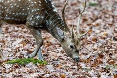 Ελάφια Sika με το μουτζουρωμένο backgound στην άγρια φύση Στοκ Εικόνες