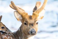Ελάφια Sika με το χιόνι στο μουτζουρωμένο backgound στην άγρια φύση Στοκ Φωτογραφίες
