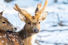 Ελάφια Sika με το χιόνι στο μουτζουρωμένο backgound στην άγρια φύση Στοκ φωτογραφία με δικαίωμα ελεύθερης χρήσης