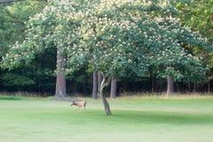 Ελάφια Whitetail που κοιτάζουν βιαστικά στον πράσινο τομέα buck στο βελούδο φυσικό Στοκ φωτογραφίες με δικαίωμα ελεύθερης χρήσης