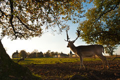 Ελάφια Whitetail που στέκονται στο θερινό ξύλο Στοκ φωτογραφίες με δικαίωμα ελεύθερης χρήσης