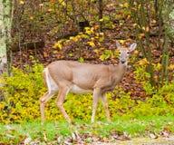 Ελάφια Whitetail στο δάσος φθινοπώρου Στοκ εικόνες με δικαίωμα ελεύθερης χρήσης
