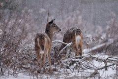 Ελάφια Whitetail στο χιόνι Στοκ φωτογραφία με δικαίωμα ελεύθερης χρήσης