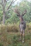 Ελάφια Whitetail buck Στοκ εικόνα με δικαίωμα ελεύθερης χρήσης