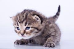 Ελάχιστα 2 εβδομάδες ηλικίας γατακιών Στοκ Φωτογραφίες