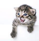 Ελάχιστα 2 εβδομάδες ηλικίας γατακιών Στοκ Εικόνα