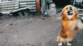 Ελάχιστα χαριτωμένος κόκκινος εύθυμος λίγο σκυλί που πηδά στις αλυσίδες απόθεμα βίντεο