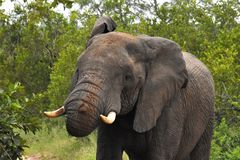 Ελέφαντας έτοιμος να χρεώσει Στοκ Φωτογραφία