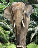 Ελέφαντας αρσενικό Μπόρνεο Στοκ Φωτογραφία