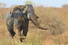 Ελέφαντας, Αφρικανός - άγρια φύση από την Αφρική - μυρωδιά Στοκ Φωτογραφία
