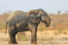 Ελέφαντας, Αφρικανός - υπόβαθρο άγριας φύσης από την Αφρική - Mud spa και θεραπεία υγείας του δέρματος Στοκ εικόνα με δικαίωμα ελεύθερης χρήσης
