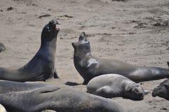 Ελέφαντας θάλασσας Στοκ εικόνες με δικαίωμα ελεύθερης χρήσης