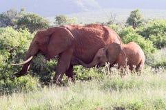 Ελέφαντας και ο ελέφαντάς της Στοκ Εικόνες