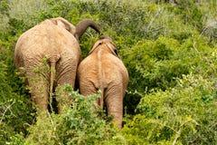 Ελέφαντας μαμών και μωρών που στέκεται μαζί και που τρώει σε κάποιο στηθόδεσμο Στοκ εικόνες με δικαίωμα ελεύθερης χρήσης