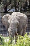 Ελέφαντας μετωπικός στοκ φωτογραφίες με δικαίωμα ελεύθερης χρήσης