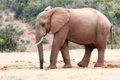 Ελέφαντας με έναν υγρό κορμό Στοκ Εικόνες