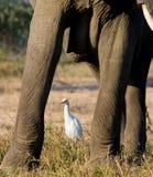 Ελέφαντας με τους άσπρους ερωδιούς Ζάμπια Χαμηλότερο εθνικό πάρκο Ζαμβέζη Ποταμός Ζαμβέζη Στοκ Εικόνα