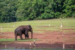 Ελέφαντας με το βιότοπο Στοκ Εικόνες