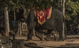 Ελέφαντας με το turist κοντά στο ναό Angkor Wat Στοκ Εικόνες