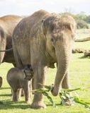 Ελέφαντας μητέρων και μωρών Στοκ Φωτογραφία