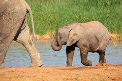 Ελέφαντας μωρών στο waterhole Στοκ φωτογραφίες με δικαίωμα ελεύθερης χρήσης