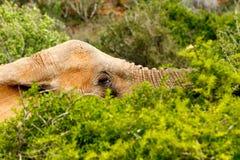 Ελέφαντας που βάζει χαμηλά μεταξύ των κλάδων Στοκ Φωτογραφία