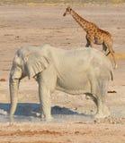 Ελέφαντας που καλύπτεται στην άσπρη λάσπη στοκ εικόνες με δικαίωμα ελεύθερης χρήσης