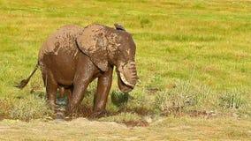 Ελέφαντας που παίρνει το λουτρό λάσπης σε Amboseli απόθεμα βίντεο