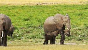 Ελέφαντας που περιποιείται το μωρό της σε Amboseli απόθεμα βίντεο