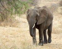 Ελέφαντας που περπατά frontview Στοκ Φωτογραφίες