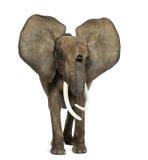 Ελέφαντας που στέκεται, αυτιά επάνω, που απομονώνονται αφρικανικός Στοκ εικόνα με δικαίωμα ελεύθερης χρήσης