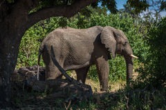 Ελέφαντας που στέκεται στη διαδρομή που πλαισιώνεται από τα δέντρα Στοκ φωτογραφίες με δικαίωμα ελεύθερης χρήσης